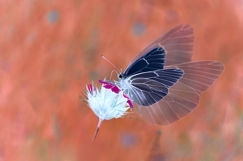 Обои Бабочка на цветке, фотограф Katrin Suroleiska