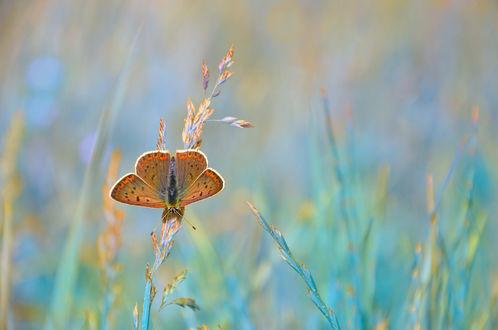 Обои Бабочка на колоске, фотограф Katrin Suroleiska