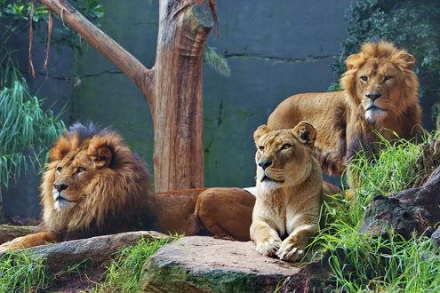 Обои Львы в зоопарке