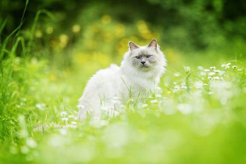 Обои Белый кот с серой мордочкой, сидит среди летних белых цветов и зеленой травы