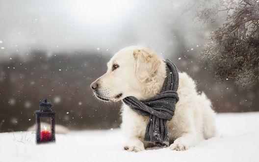 Обои Золотистый ретривер с шарфиком на шее лежит на снегу возле фонарика