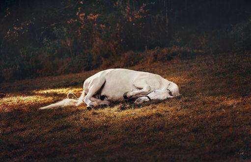 Обои Лошадь лежит в траве, by LyraWhite
