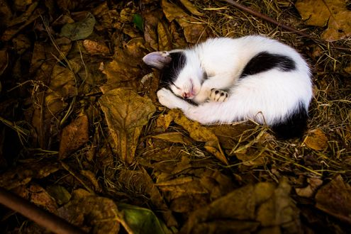 Обои Спящий на листве черно-белый кот