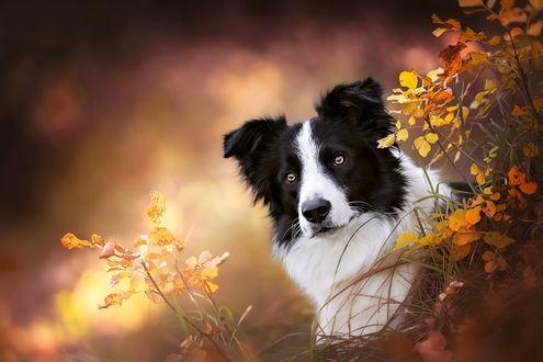 Обои Собака породы Бордер - Колли выглядывает из желтых листьев, фотограф Ria Putzker