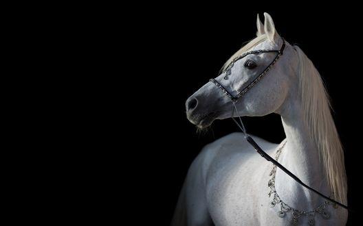 Обои Арабская белая лошадь на черном фоне, фотограф OliverSeitz