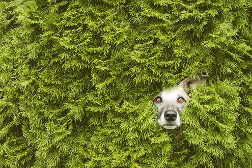 Обои Выглядывающая мордочка собаки, by Elke Vogelsang