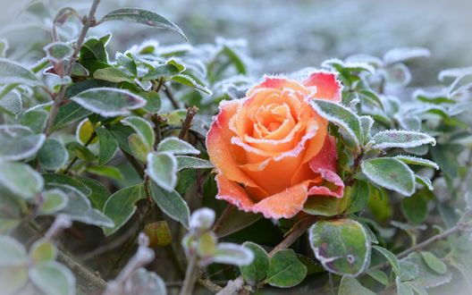 Обои Роза и куст покрыты инеем