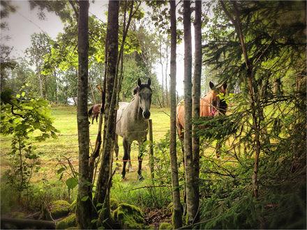 Обои Лошади в лесу