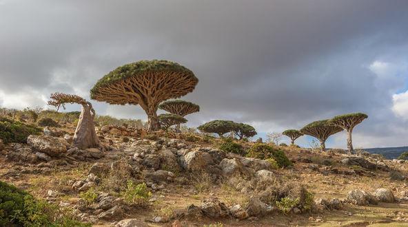 Обои Остров Сокотра с красивыми деревьями на северо-западе Индийского океана