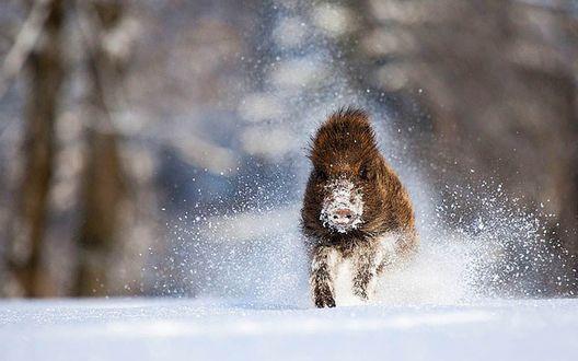 Обои Дикий кабан бежит по снегу
