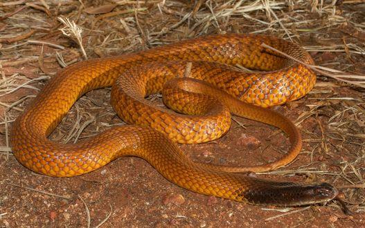 Обои Рыжая змея с черной головой