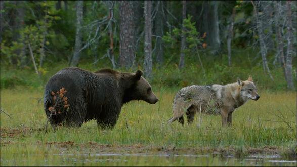 Обои Волчица и медведица стоят у воды