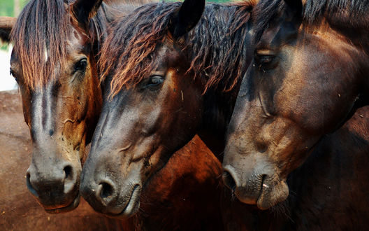 Обои Три лошадиные морды