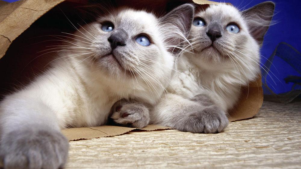 Обои для рабочего стола Сиамские котята лежат на полу в пакете и смотрят вверх