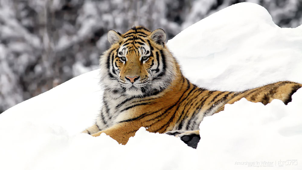 Обои для рабочего стола Амурский тигр отдыхает на снегу