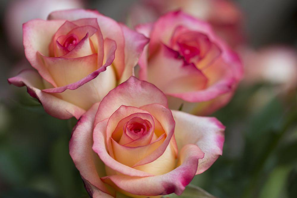 Обои для рабочего стола Три бело-розовые розы на размытом фоне