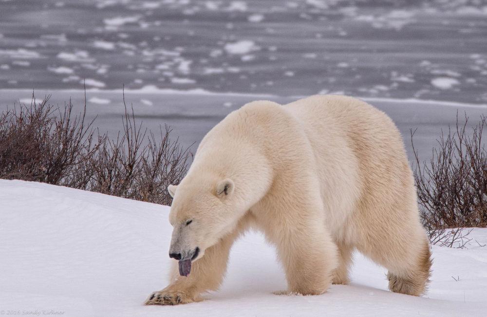 Обои для рабочего стола Белый медведь идет по снегу, фотограф SandyK29