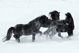 Обои Лошади на снегу, фотограф Daniel Herr