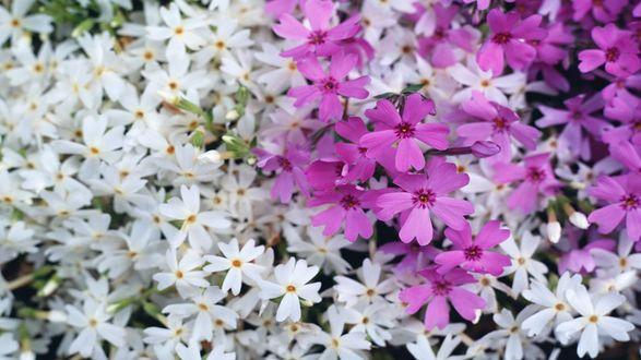 Обои Сиреневые цветы флокса среди белых