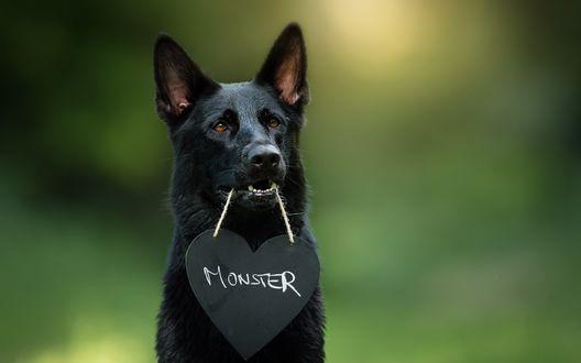 Обои Черный пес держит в пасти веревочку с табличкой в виде сердца на которой написано Monster / Монстр