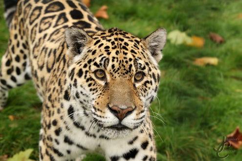 Обои Северный китайский леопард, фотограф Jasmine Curtis