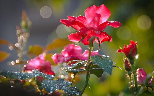 Обои Алая роза в каплях росы