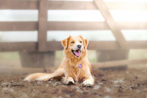 Обои Собака породы бордер-колли лежит на земле, фотограф Zanny Stwertka