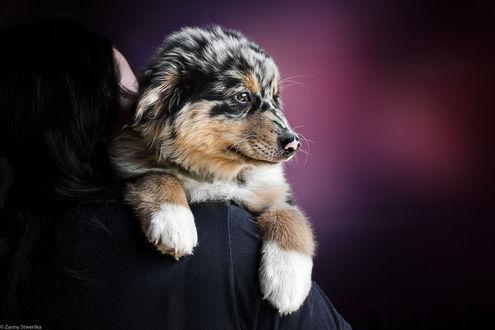 Обои На плече девушки щенок австралийской овчарки, фотограф Zanny Stwertka
