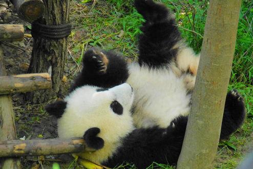 Обои Панда лежит на земле, by travel oriented