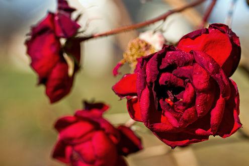 Обои Красные розы в ноябре