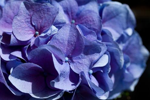 Обои Цветущая голубая гортензия