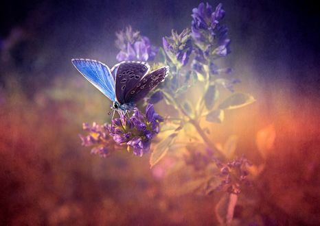 Обои Голубая бабочка сидит на цветке