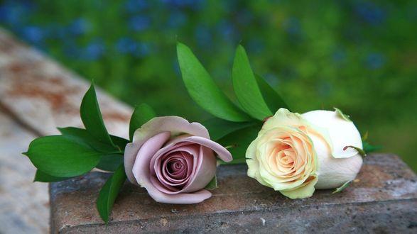 Обои Кремовая и сиреневая роза лежат на бетонном блоке