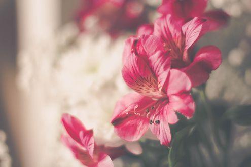 Обои Розовые лилии на размытом фоне