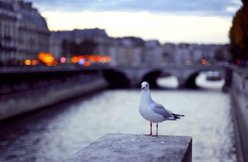 Обои Чайка на фоне размытого города, by Deerily