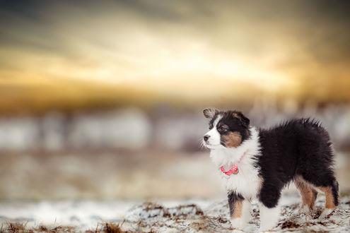 Обои Собака стоит на фоне размытого заката, фотограф Zanny Stwertka