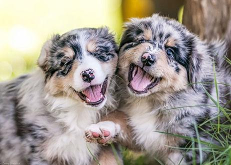 Обои Два щенка австралийской овчарки, фотограф Zanny Stwertka