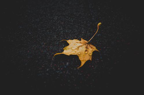 Обои Кленовый осенний лист в каплях воды