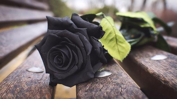 Обои Черная роза лежит на скамье