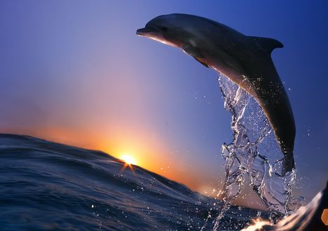 Обои Прыжок дельфина на рассвете