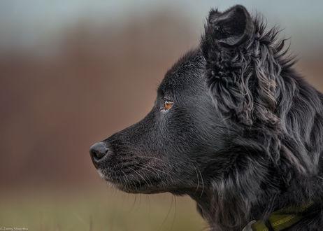 Обои Собака в профиль, фотограф Zanny Stwertka