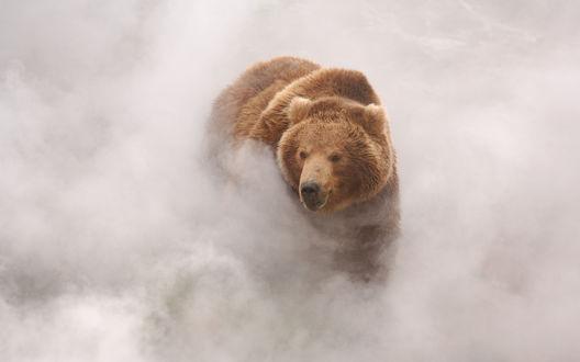 Обои Бурый медведь в облачном дыму