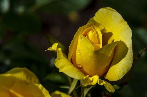 Обои Желтая роза с каплей воды