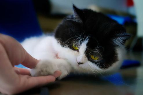 Обои Рука хозяина трогает черно-белого кота