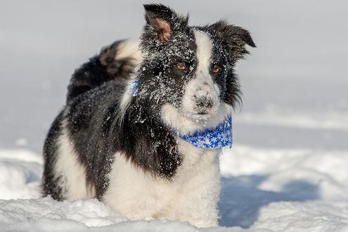Обои Бордер-колли на снегу, фотограф Zanny Stwertka