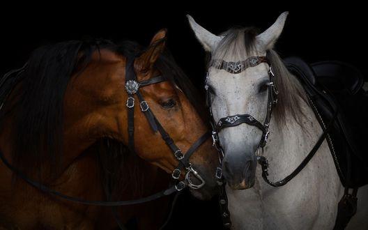 Обои Пара лошадей в сбруе