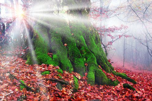 Обои Сквозь древнее, поросшее мхом дерево, просвечиваются лучи солнца