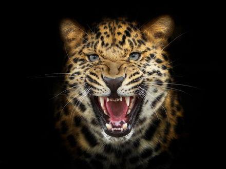 Обои Морда леопарда с открытой пастью на темном фоне
