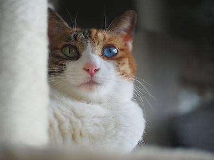Обои Кошка с глазами разного цвета