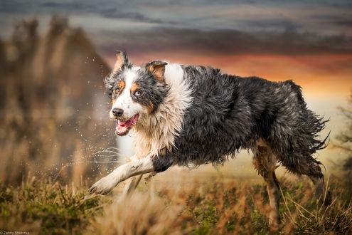 Обои Бегущая Бордер-колли по траве, фотограф Zanny Stwertka